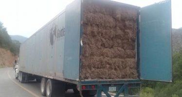Aseguran 9 toneladas de paixtle o heno (Tillandsia usneoides) que se venderían en Estados Unidos