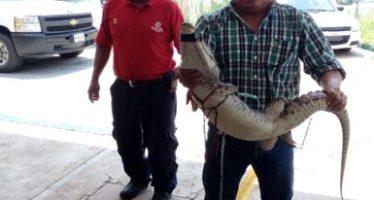 PROFEPA recupera a dos ejemplares de cocodrilo de pantano en Villahermosa, Tabasco