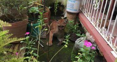 Recuperan a un ejemplar de puma en Tepic, Nayarit