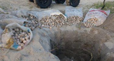 Recuperan y entierran 5,600 huevos de tortuga golfina (Lepidochelys olivacea) en la playa El Morro, Oaxaca