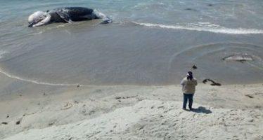 Muere varada una ballena jorobada juvenil en la zona costera en Playas de Rosarito, Baja California