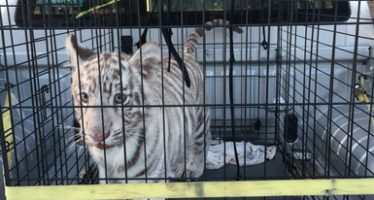 Aseguran un cachorro de tigre blanco (Panthera tigris) y un oso negro (Ursus americanus eremicus) en Nuevo León