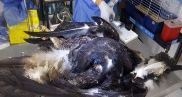 Los cables de la muerte cobran otra víctima en Saltillo: un ejemplar de águila Real (Aquila chrysaetos) muere electrocutada