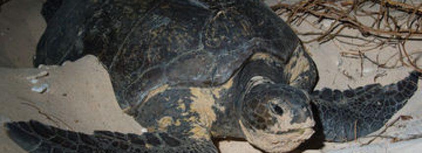 La Reserva de la Biosfera Archipiélago de Revillagigedo es hogar de cuatro especies de tortugas marinas