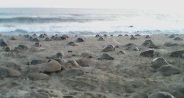Desovan más de medio millón de tortugas golfina durante la quinta arribada a Playa Escobilla y Playa Morro Ayuta en Oaxaca