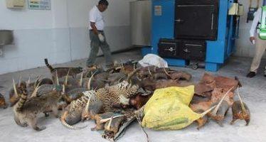 Destruyen en Acapulco, 288 piezas ilegales de taxidermia y productos de especies silvestre incluso protegidas
