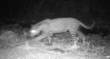 En Campo Verde, Chihuahua, primer avistamiento de jaguar (Panthera onca) y apenas el octavo en el estado