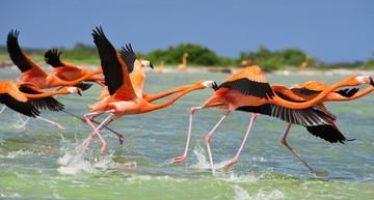 Exitoso anillamiento del flamenco rosado del Caribe (Phoenicopteus ruber) en los últimos 25 años