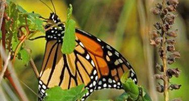 """A punto de llegar la mariposa monarca (Danaus plexippus) a los cada vez más """"pelones"""" cerros y cañadas de la Reserva de la Biosfera Mariposa Monarca"""