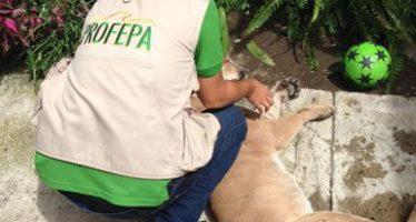 Atiende PROFEPA reportes de un puma visto en una zona habitacional en Tequila, Jalisco