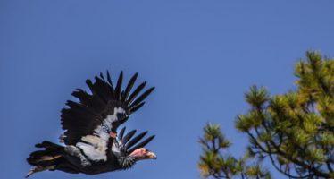 Nacidos en cautiverio en zoo de Chapultepec, tres ejemplares de cóndor de california (Gymnogyps californianus) vuelan libres en San Pedro Mártir