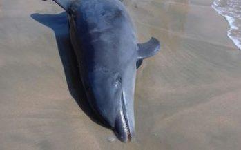 Deriva a la playa El Palmar de Zihuatanejo, delfín (Tursiops truncatus) muerto