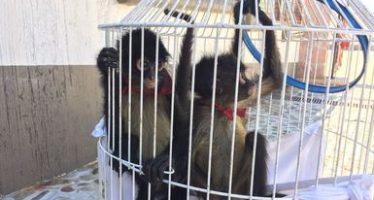 Aseguran en Atlacomulco, dos ejemplares de mono araña (Ateles geoffroyi) que iban a venderse ilegalmente