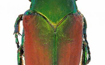 Escarabajos fruteros en México