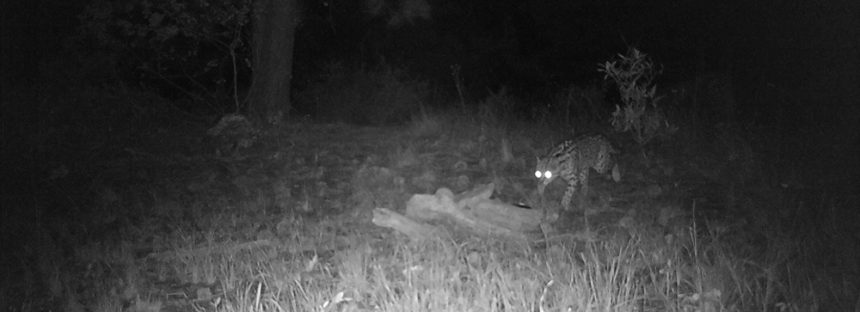 Identifican a un ocelote (Leopardus pardalis), felino en peligro de extinción, en Janos, Chihuahua