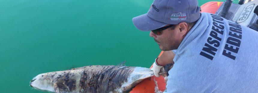 Fracasa estrategia de la presidencia de México para salvar a la vaquita marina (Phocoena sinus) de su virtual extinción… está suspendido