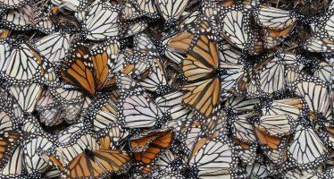 Persiste la tala ilegal en reserva y afecta a la mariposa monarca (Danaus plexippus): Científicos internacionales desmienten a gobierno de México