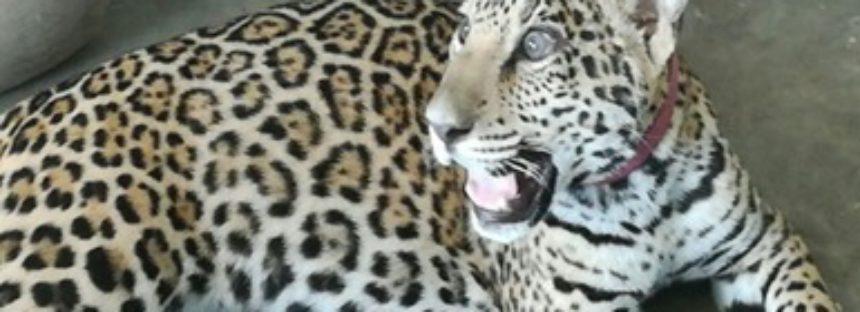 Legal posesión de una hembra de jaguar en Mazatlán: Cuenta con factura y marcaje de microchip