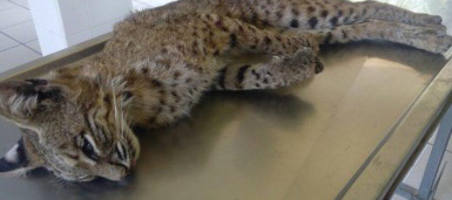 Investigan muerte de un lince (Lynx rufus) rescatado en Tamaulipas