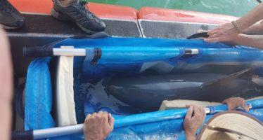 Entre expertos, hembra de vaquita marina (Phocoena sinus) muere en el refugio El Nido horas después de su captura
