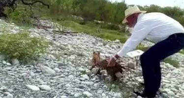 En Tamaulipas, regresan a su hábitat un gato montés (Lynx rufus) y dos cocodrilos de pantano (Crocodylus  moreletii)