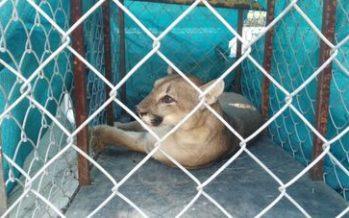 Rescatan un puma (Puma concolor) deambulaba en un fraccionamiento de Ciudad Victoria, Tamaulipas