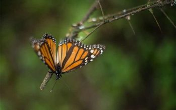 Científicos urgen a Gobierno mexicano a detener tala en reserva de mariposas *