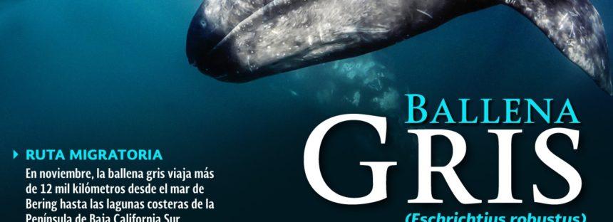 Una ballena gris  juvenil (Eschrichtius robustus), es el primer registro de la temporada en el Complejo Lagunar Ojo de Liebre