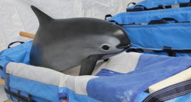 Asegura la Semarnat que hay tres veterinarios mexicanos en el equipo de cuidado animal de la vaquita marina (Phocoena sinus)