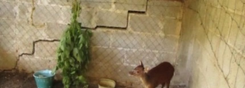 Rescatan y liberan un venado temazate (Mazama americana) silvestre  retenido en un domicilio en Hidalgo