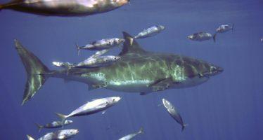 Observadores en botes turísticos generaron valiosa observación del comportamiento de tiburón blanco (Carcharodon carcharias) en Isla Guadalupe, BC