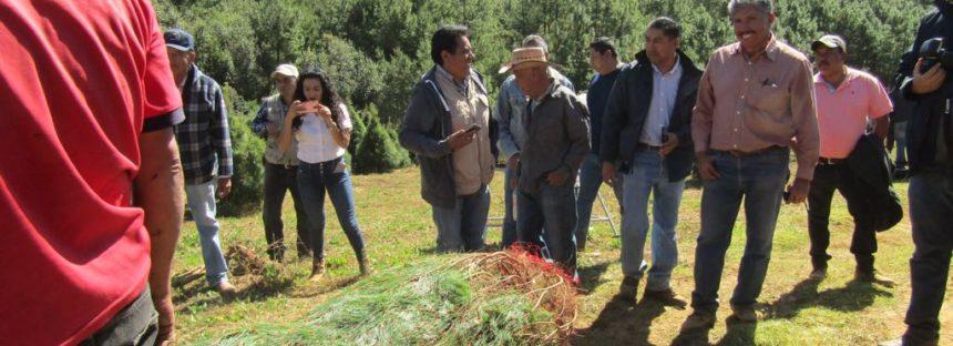 Venderán 16 mil 800 árboles de Navidad producidos en bosques michoacanos