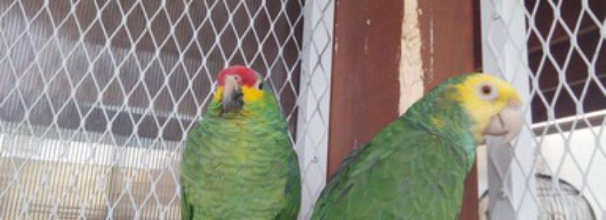 Aseguran aves silvestres en Monterrey que tenían como mascotas
