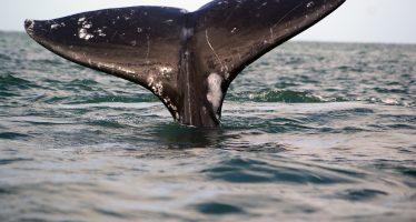 La gran ballena gris (Eschrichtius robustus) toma posesión de los santuarios de reproducción en península de Baja California