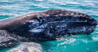 Exhaustos, llegan a México ejemplares de ballena gris (Eschrichtius robustus) a reproducirse