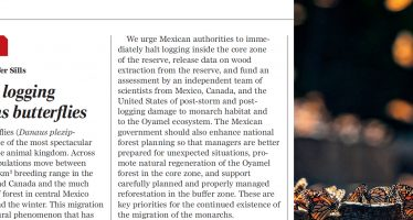 Mexico's logging threatens butterflies