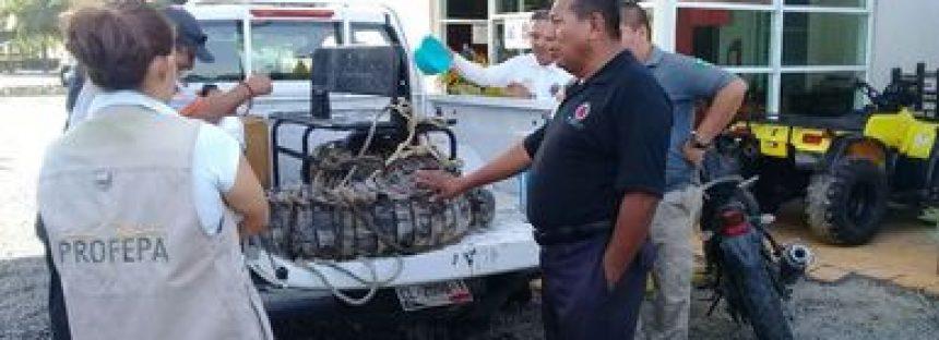 Liberan cocodrilo americano (Crocodylus acutus) capturado en Manzanillo, Colima