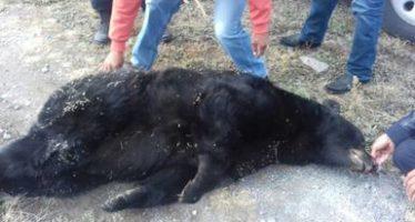 De un balazo asesinan en Saltillo  a un oso americano (Ursus americanus) de 10 años de edad y 160 kg