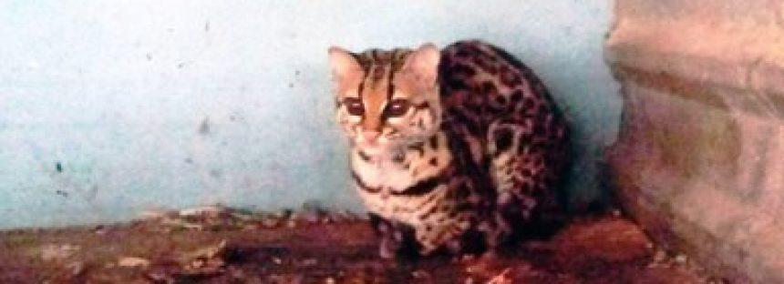 Aseguran seis ejemplares de vida silvestre en Atempan, Puebla, Puebla, incluidos felinos protegidos
