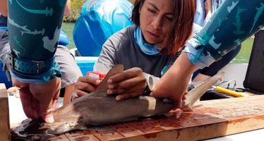 Científicos ecuatorianos descubren un sitio de crianza de tiburones martillo en archipiélago de las Galápagos