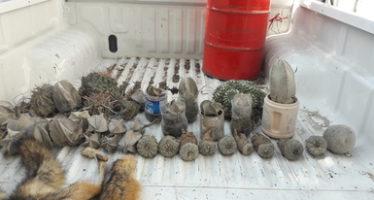 Impiden la venta de cactáceas silvestres en Charco Cercado, SLP; rescatan botones de peyote (Lophophora williamsii)
