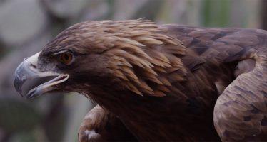 Hallazgo biológico en México: Sierra de Juárez en Tecate, Baja California, es territorio de anidación de águila real (Aquila chrysaetos canadiensis)