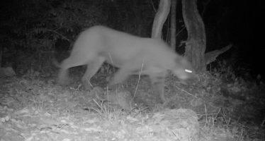 Registran con cámaras trampa, presencia de puma (Puma concolor) en Sierra de Álvarez, SLP