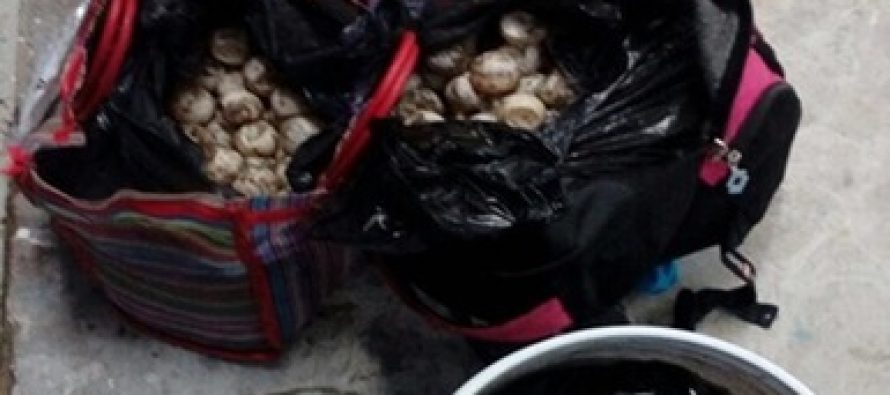 Destruye la Profepa 1,823 huevos de tortuga decomisados a traficantes de Guerrero