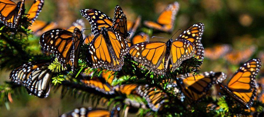 Tala en México amenaza a las mariposas *