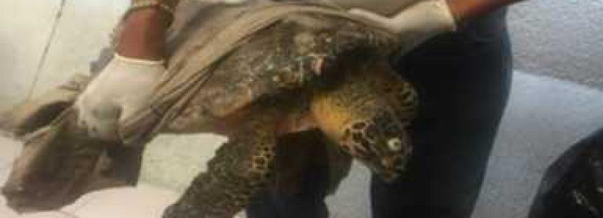 Nada qué hacer: muere una tortuga carey (Eretmochelys imbricata) que flotaba en Playa Manzanillo en Acapulco