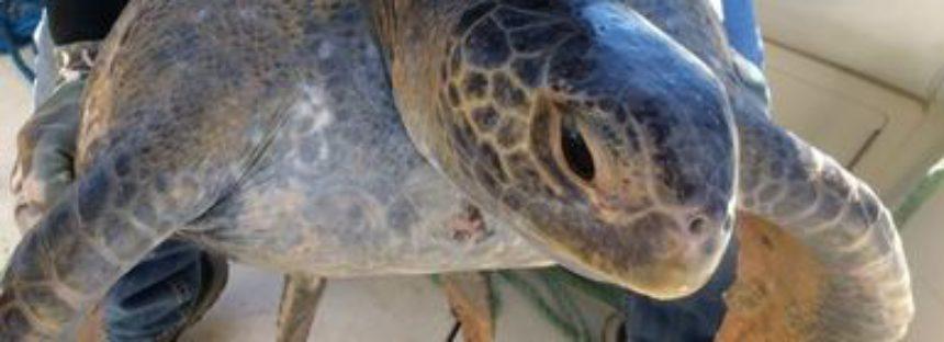 Rescatan una tortuga marina Prieta (Chelonia agassizii) enmallada en una red para pesca de totoaba en Golfo de California