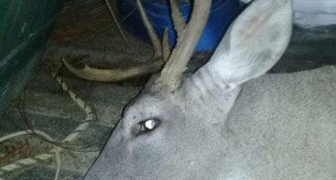 Ingresa ilegalmente al rancho cinegético Jesús Florentino de Nuevo León, para  cazar un  venado cola blanca: está bajo proceso