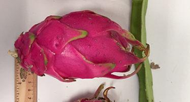 La pitaya: un fruto que puede cultivarse sin eliminar la vegetación