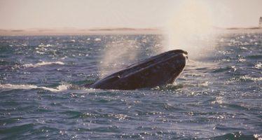 Inicia monitoreo de ballena gris (Eschrichtius robustus) en Laguna Ojo de Liebre, Baja California Sur